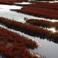 能取湖珊瑚草群生地