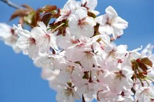 てんとらんどの桜